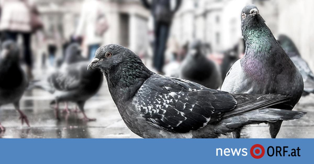 """""""Unsichtbar"""" – Das Rätsel der toten Tauben in Städten"""
