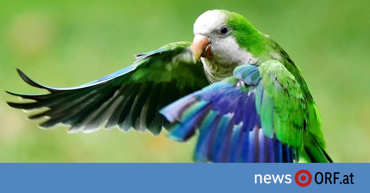 Papageienplage: Grüne Invasion in Spaniens Metropolen