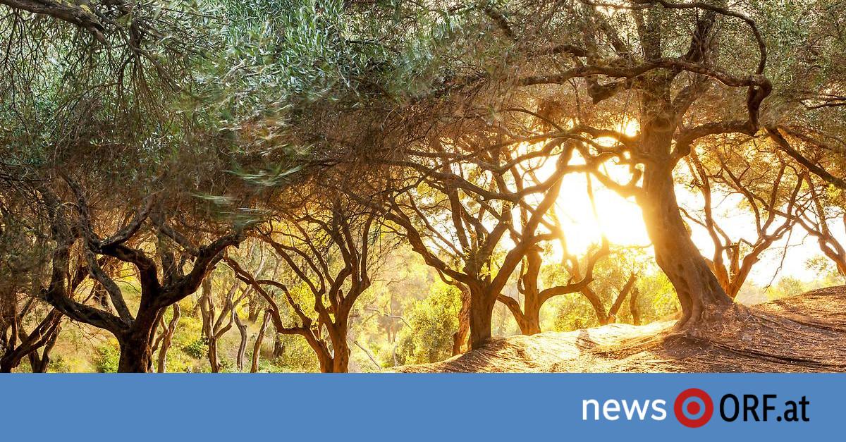 Experte: Italien geht das Olivenöl aus