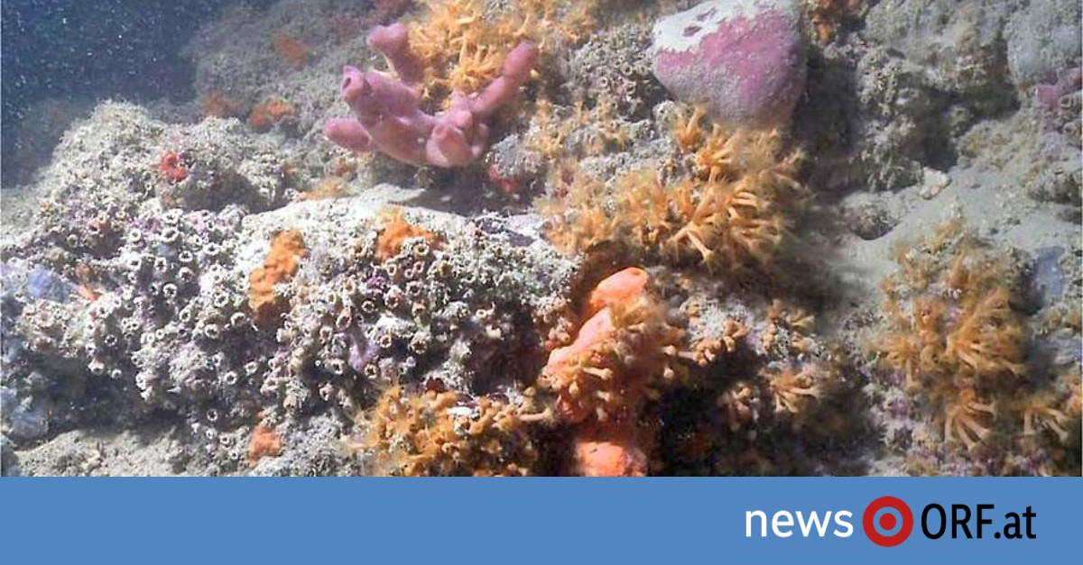 Premiere im Mittelmeer: Besonderes Korallenriff vor Italien entdeckt
