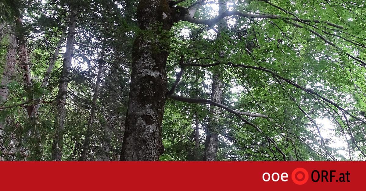 Natur: 546 Jahre: Älteste Buche Europas in OÖ