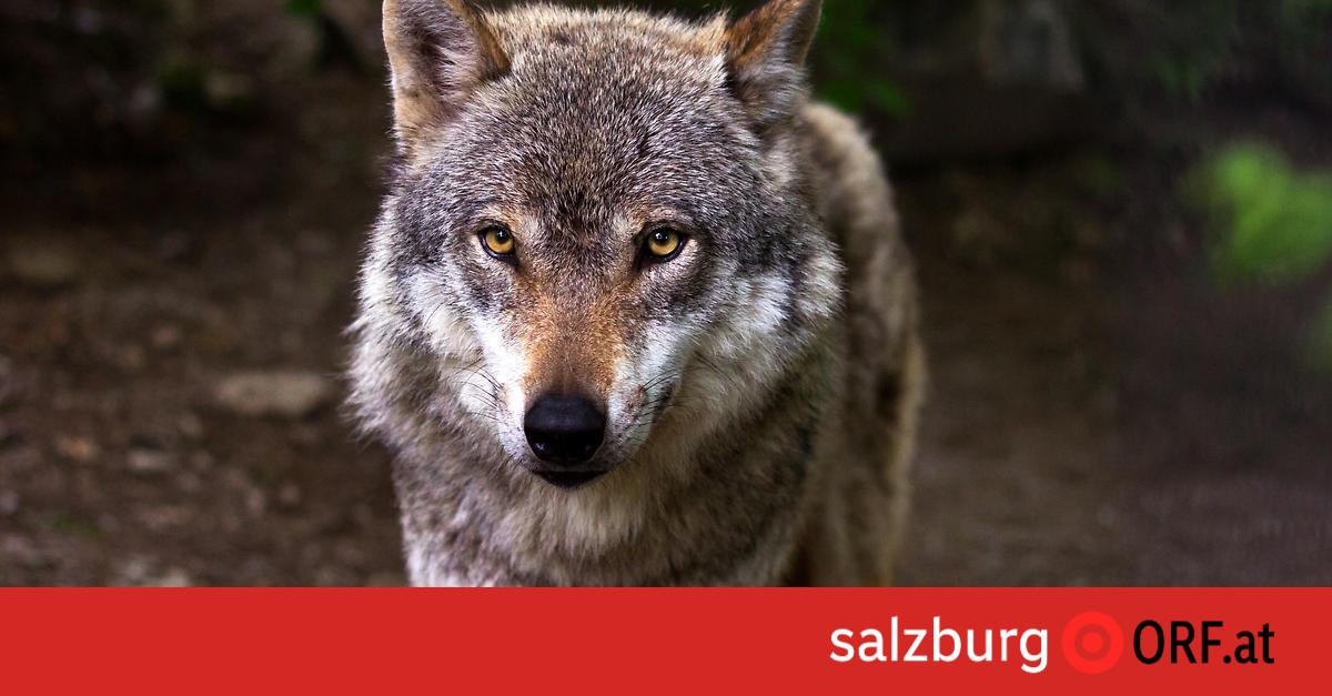 Wolfsabschuss