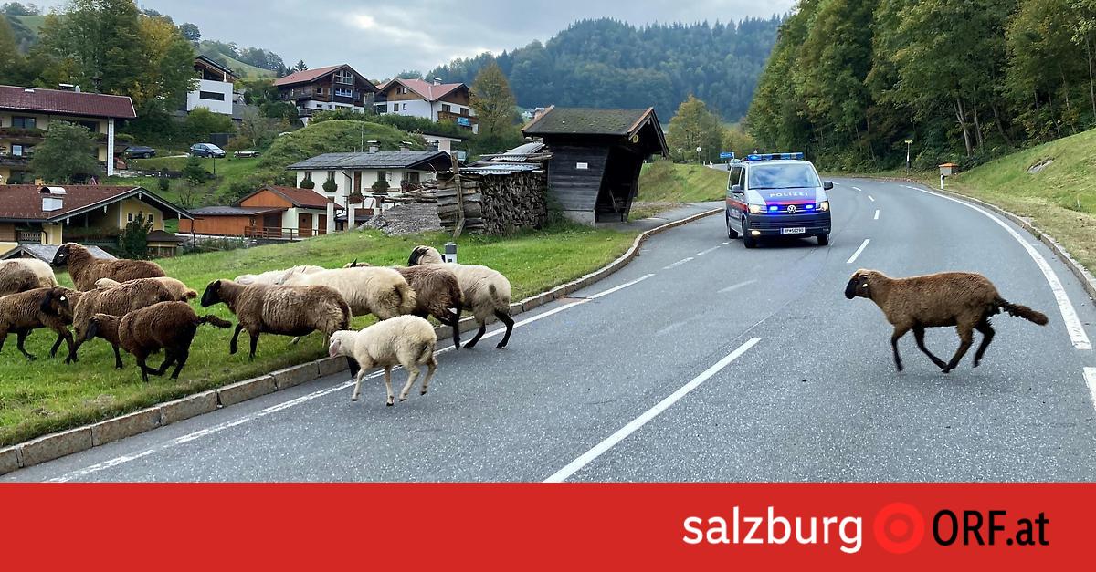 schafsherde-riss-aus-kurzzeit-sperre-am-d-rrnberg