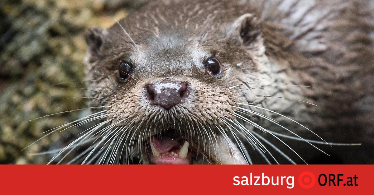 Landwirtschaft: Otter vernichten Fischbestände, Abschüsse gefordert