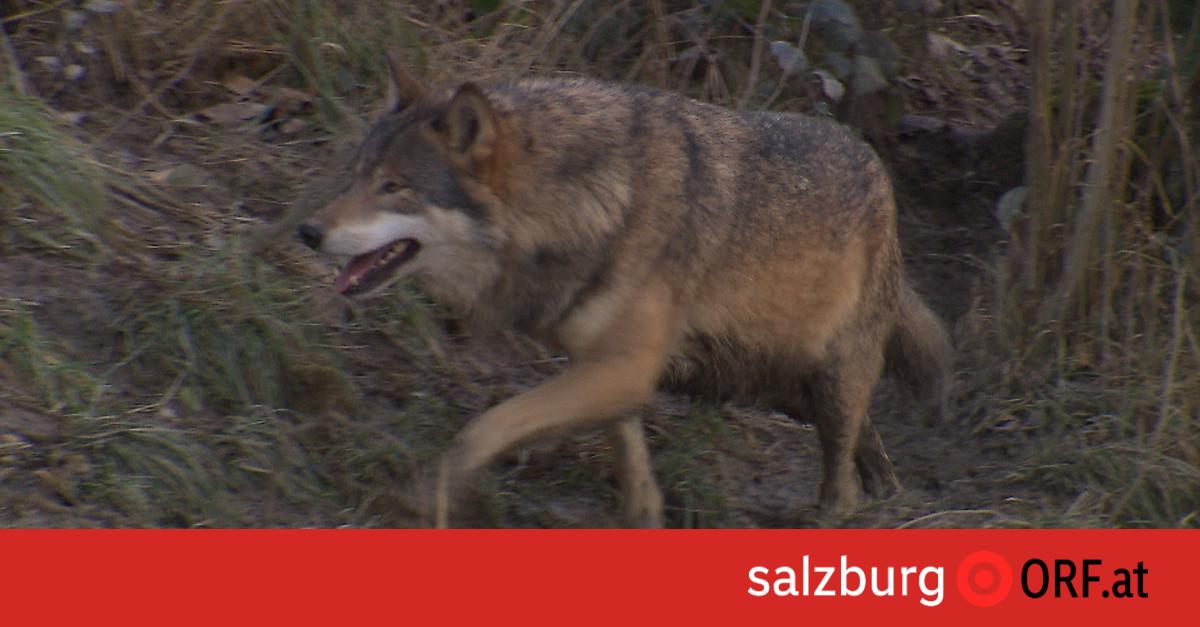 Chronik: 20 Schafe tot: Land will Wolf abschießen
