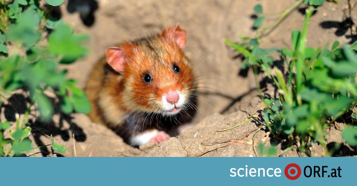 Hamster Vom Aussterben Bedroht